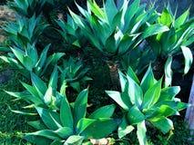 Ogród z śpiczastymi liśćmi zdjęcia royalty free
