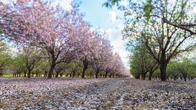 Ogród z kwitnąć owocowych drzewa Obrazy Stock