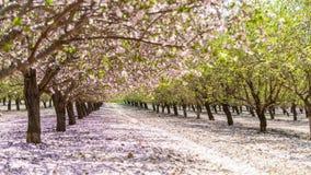 Ogród z kwitnąć owocowych drzewa Fotografia Royalty Free