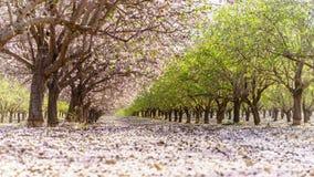 Ogród z kwitnąć owocowych drzewa Fotografia Stock
