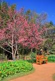 Ogród z Sakura kwiatów okwitnięciem Fotografia Royalty Free