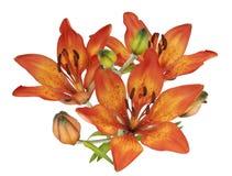 ogródu odosobniona lilie pomarańcze Zdjęcia Stock