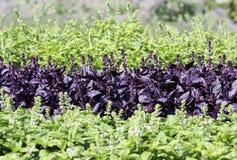 ogród basila warzyw Zdjęcia Royalty Free