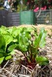 Ogród: ćwikłowa roślina i kompostowy kosz Fotografia Stock