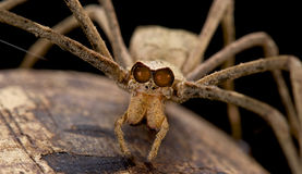 Ogre-faced spider. The Ogre-faced spider,genus Deinopsis, is a scary looking spider species found in Cameroon Stock Images