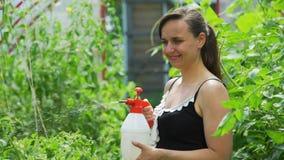 Ogrodnictwo kobiety podlewania pomidory w zielonym domu zbiory