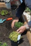 ogrodnictwo senior Zdjęcie Royalty Free