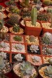 Ogrodnictwo sukulenty i kaktus zdjęcie stock
