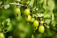 Ogrodnictwo temat: krzaków dojrzali zieleni agresty Obrazy Royalty Free