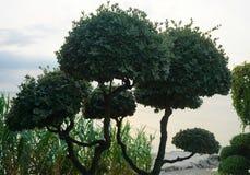 Ogrodnicza sztuka, iglaści drzewa z naszywanymi koronami obraz stock