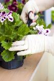 Ogrodniczek ręki zasadza kwiaty przy podwórzem Zdjęcie Royalty Free