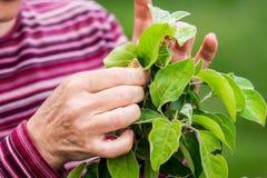 Ogrodniczka bierze opiekę młoda jabłoń Opieka dla plants_ fotografia royalty free