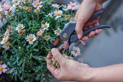 Ogrodniczka ciie kwiatu, ręki i nożycowego zakończenia w górę widoku, fotografia royalty free