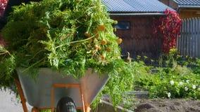 Ogrodniczka niesie furę z marchewka wierzchołkami zbiory