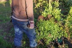 Ogrodniczka pracuje w jarzynowym ogródzie Jesieni ogrodnictwo, organicznie uprawia ziemię pojęcie Organicznie uprawiać ziemię jes Zdjęcie Stock