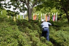 Ogrodniczka przycina krzaka drzewa z strzyżeniami Zdjęcia Stock
