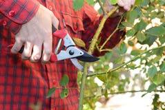Ogrodniczka przycina nożyce przycina wspinaczkowe róże z ogródem Przycinający Wspinaczkowe róże Przycina nożyce z ogródem i Trenu fotografia stock