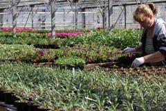 Ogrodniczka przygotowywa garnki z kwiatami w szklarni podczas wiosna kwiatu sezonu w mieście Sofia, Bułgaria †'Kwiecień 20, 201 obraz royalty free