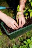 Ogrodniczka repot zielonej aloesu Vera rośliny w ogródzie Zdjęcie Royalty Free