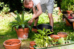 Ogrodniczka repot zielonej aloesu Vera rośliny w ogródzie Zdjęcia Stock