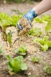 Ogrodniczka rozprzestrzenia słomianego chochoł wokoło rośliien Zdjęcie Stock