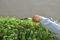 Ogrodniczka tnący żywopłot z traw strzyżeniami Zdjęcie Stock