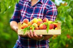 Ogrodniczka trzyma skrzynkę lato owoc, dojrzałe brzoskwinie Obrazy Stock