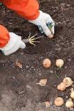 Ogrodniczka ustawia cebuli Zdjęcia Royalty Free