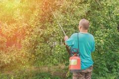 Ogrodniczka w ogródzie zapyla jabłoni zdjęcia stock