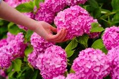 Ogrodniczka z kwiatami kobiety opieka kwiaty w ogródzie Kwiatu podlewanie i opieka ziemie i użyźniacze charcica zdjęcia stock