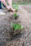 Ogrodniczka zasadza kapuścianej rozsady w jarzynowym ogródzie obrazy royalty free