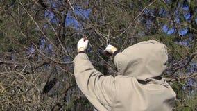 Ogrodniczki cięcie przycina podstrzyżenie owoc gałąź zbiory wideo