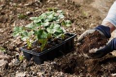 Ogrodniczki kładzenia ziemia bogacąca z organicznie użyźniacza humic granulami w flancowanie dziurę fotografia stock