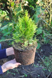 Ogrodniczki kobieta Wręcza mienia i flancowanie cyprysu, tuja z korzeniami (tuja Occidentalis Złoty Brabant) Fotografia Stock