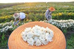 Ogrodniczki podnosi up chryzantemę kwitną w wieczór, Tajlandia obrazy royalty free