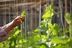Ogrodniczki pomocy kabaczka winogradu roślina wspinać się w górę sznurka w jarzynowym ogródzie zdjęcie royalty free