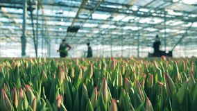 Ogrodniczki pracują z tulipanowymi kwiatami w nowożytnym glasshouse zdjęcie wideo