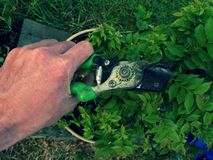 Ogrodniczki ręki cięcia gałąź na bonsai grabie Cleaning treetop Zdjęcia Stock