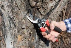 Ogrodniczki ręki rżnięta gałąź z obwodnic secateurs, przycina w wiośnie Owocowy drzewo przycina z przycinać strzyżenia Zdjęcie Royalty Free