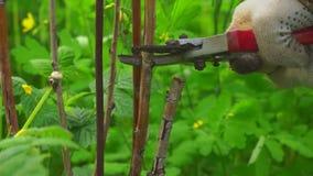 Ogrodniczki rozcięcia suchy malinowy krzak zbiory