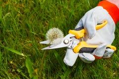 Ogrodniczki ` s ręka z przycinać nożyce Obrazy Stock