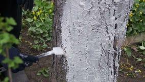 Ogrodniczki wybielania Drzewny bagażnik z kredą w ogródzie, Drzewna opieka w wiośnie swobodny ruch zbiory wideo