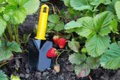Ogrodniczy rozmaity i truskawka zdjęcie stock