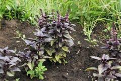 Ogrodniczy uprawy rośliny basil zdjęcia royalty free