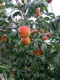 ogrodowa brzoskwinia obrazy stock