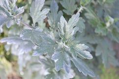 Ogrodowa chryzantema Kwiat chryzantem abstrakcjonistyczny tło fotografia royalty free