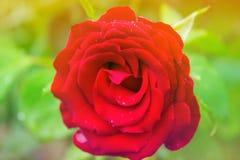 ogrodowa czerwień wzrastał Obrazy Royalty Free