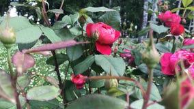 ogrodowa czerwień wzrastał zdjęcie wideo