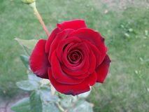 ogrodowa czerwień wzrastał fotografia stock