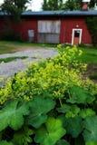 Ogrodowa damy ` salopa w pełnym okwitnięciu, letni dzień zdjęcia stock